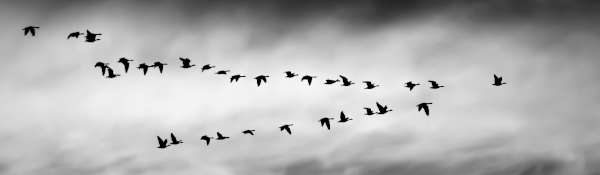 Black and white image of geese journeying together across a cloudy sky in a rough formation